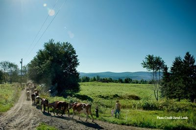 Herd of Ayrshires being led to a fresh patch of grass by Mateo Kehler after an afternoon milking, a daily routine at Jasper Hill